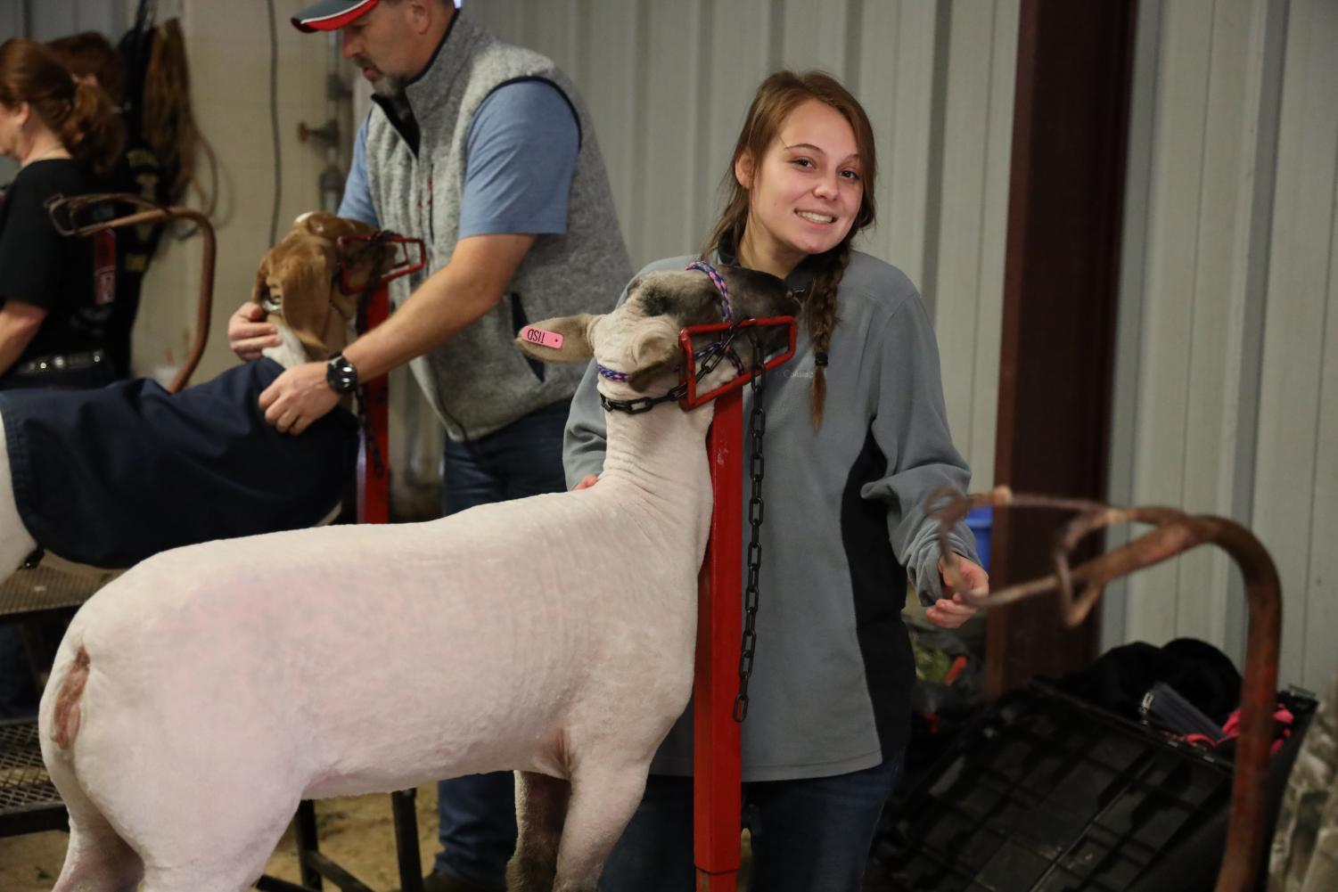 A THS student prepares her lamb for show.